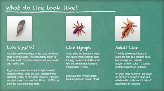 lice1